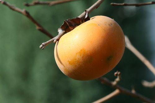 カキノキ persimmon Diospiros dispyros kaki