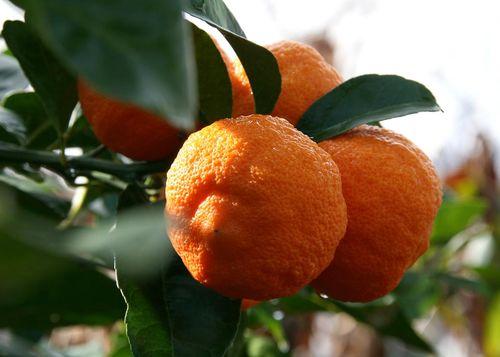 Citron Volkamer