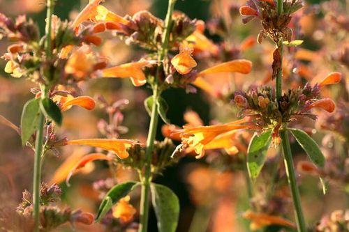 Orange salvia