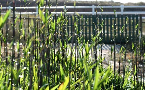 Bamboo_bambou_bambu