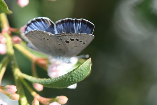 Blue Butterfly papillon bleu