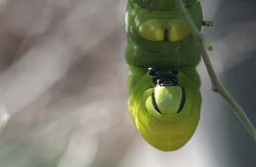 Deathshead_hawkmoth_caterpillar_chenille