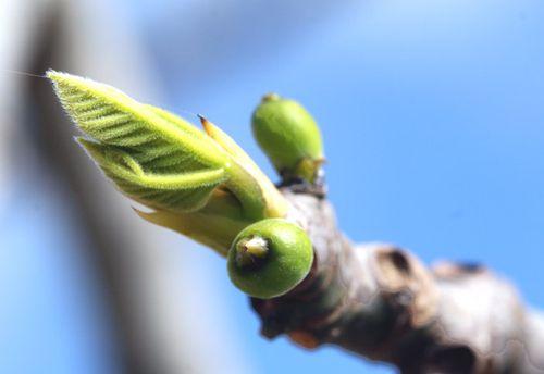Fig figue figo