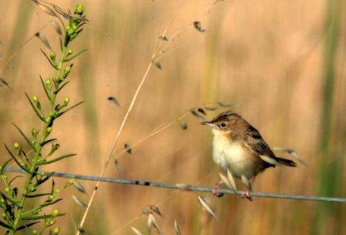 Marsh Warbler rousserolle verderolle