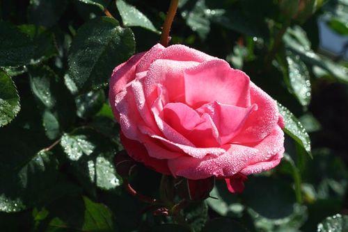 Dew rose rosée 4 2010