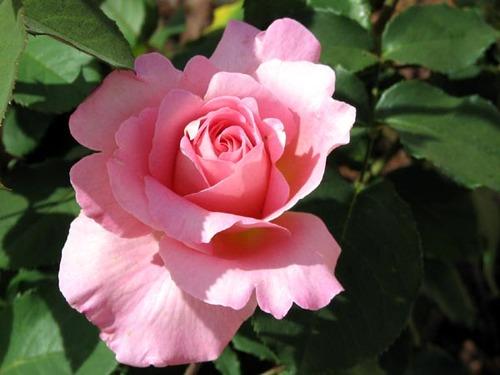 Roses: Rosa