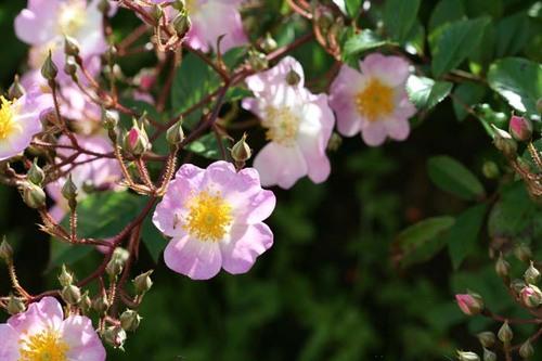 Rosa_grouse_rose