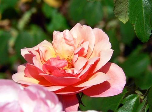 Rosa_rose