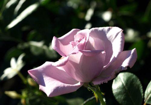 Rose rose mauve 2009 10 15