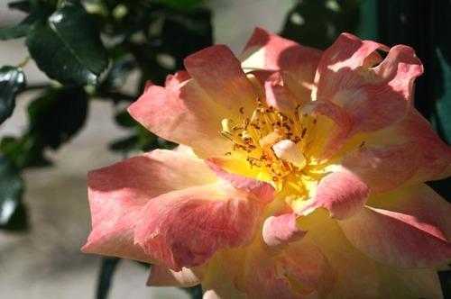 Rose_rosa_2008_05_002
