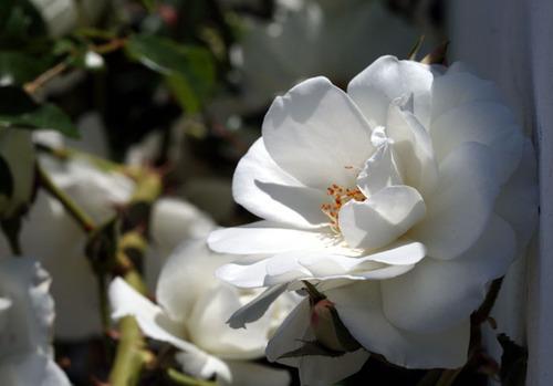 Rose_rosa_2008_05_005
