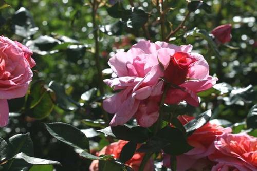 Rose_rosa_2008_05_008