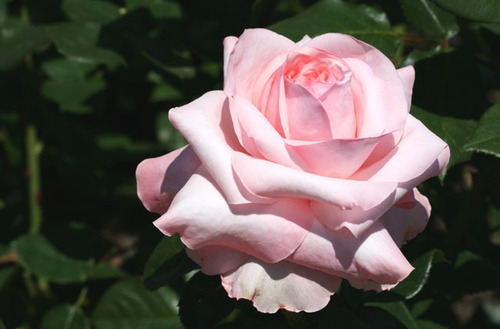 Rose_rose_04_2007