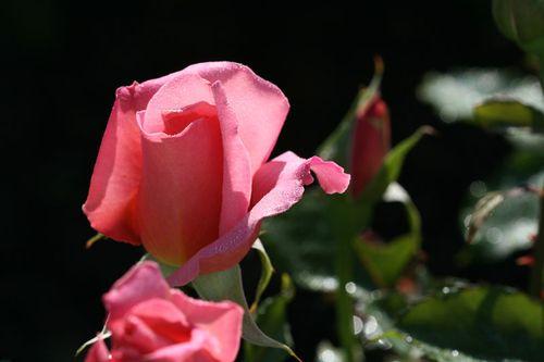 Rosee rose 2010 04