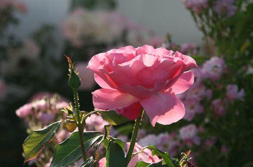Roses 2009 05 LOF