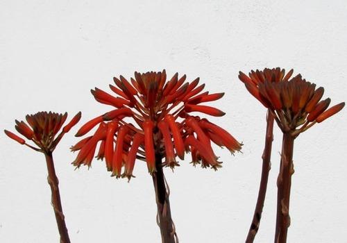 Aloe_saponaria_fleur