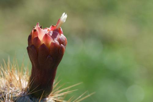 Cereus_flower