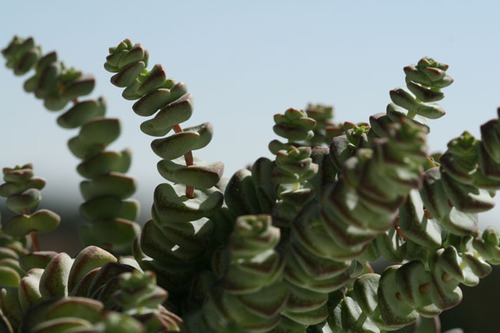 Crassula_hottentot