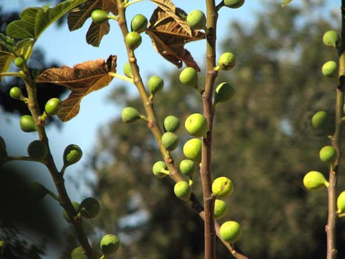 Figues_figs