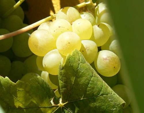 Grapes_raisin_blanc