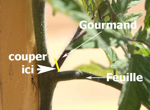 Un jardin habit tailler les tomates how to prune tomatoes - Comment faire crever un arbre sans le couper ...