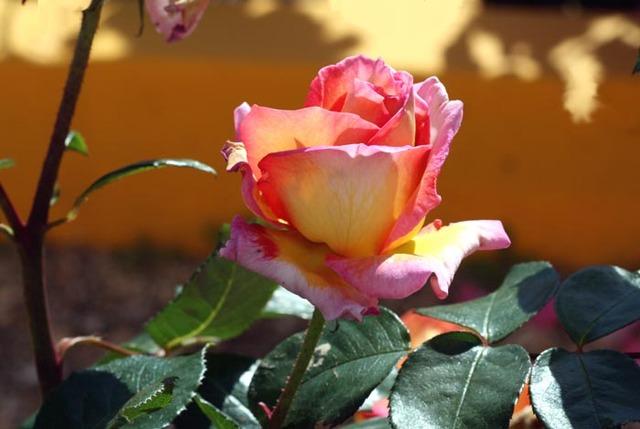 يــازائـــر منتدى جزائرنا هـــل تعــــــرف rose_rosa_2008_05_004.jpg