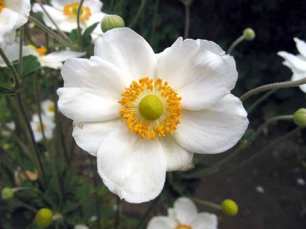 Un jardin habit an mone du japon - Anemone du japon blanche ...