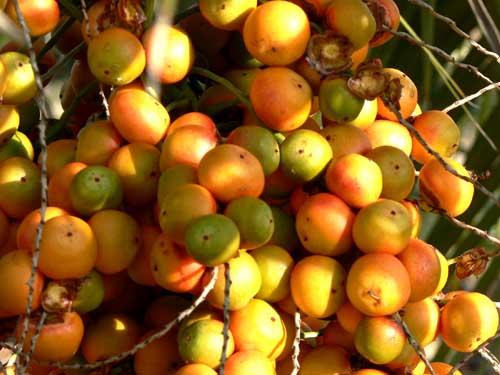 gelée de palmier abricot (butia capitata) - la cuisine du jardin