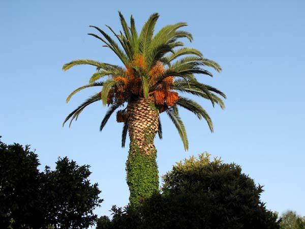 un jardin habit palmiers 1 pourquoi planter des palmiers. Black Bedroom Furniture Sets. Home Design Ideas