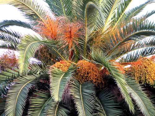 palmier datte errachidia