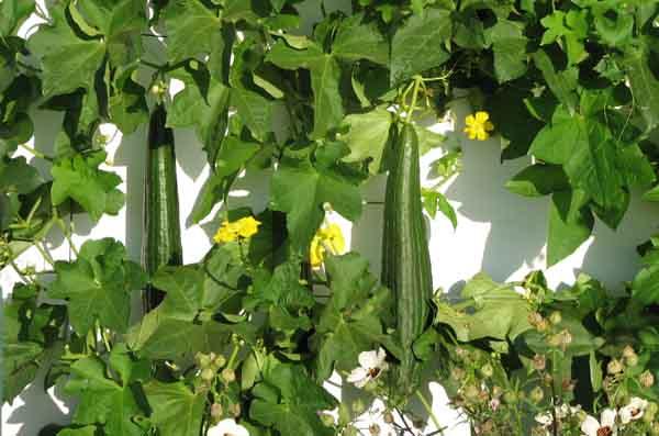 Un jardin habité: Trouver des graines de luffa (loofa)