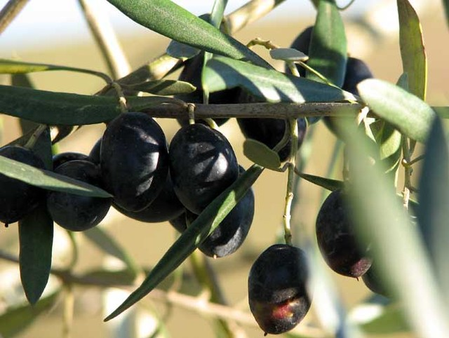 http://olharfeliz.typepad.com/photos/uncategorized/olive.jpg