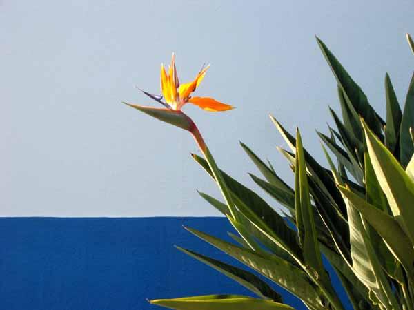 un jardin habité: oiseaux du paradis - bird of paradise - flor-da
