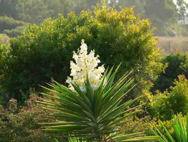 Un Jardin Habite Fleurs De Yucca Comestibles