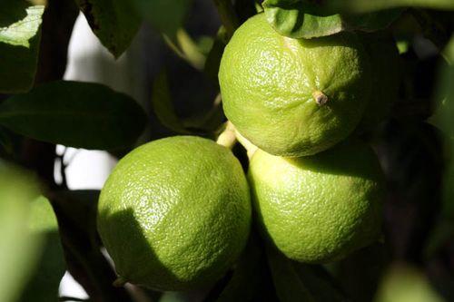 Bergamot Bergamote Citrus bergamia