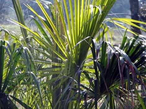 Livistona_australis_palmier_ventail