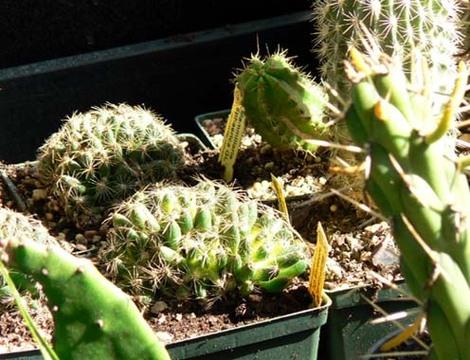 Cactus_fruitiers
