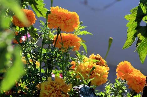 Marigolds_roses_dinde_tagete_erecta
