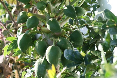 Papaya_papaye_carica_papaya_papaia