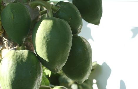 Papaye_carica_papaya_papaia