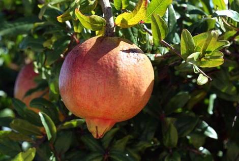Pomegranate_punica_granatum_grenade