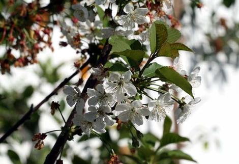 Cerisier_en_fleur_cherry_blossom