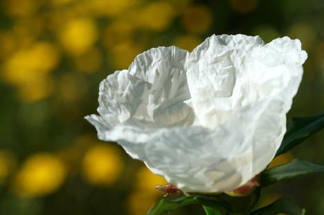 Rock_rose_blossom_fleur_ciste_cistu