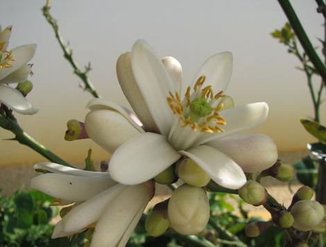 Fleur_de_cedrat