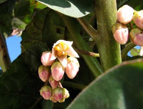 Flower_tamarillo_cyphomandra_betacea_fle
