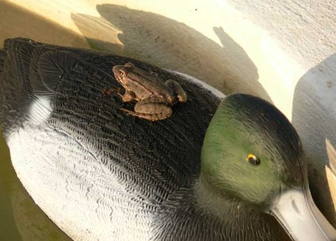 Frog_and_duck_grenouille