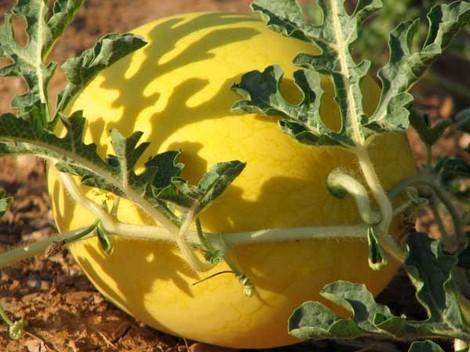 Golden_crown_watermelon_pasteque