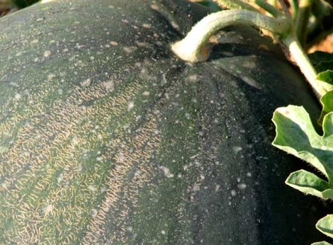 Melancia_citrullus_lanatus_watermelon_pa