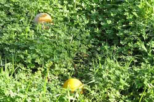 Oranges_tombes