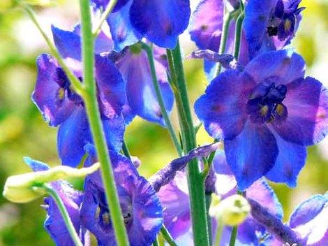Pied_dalouette_des_jardins_delphinium_aj
